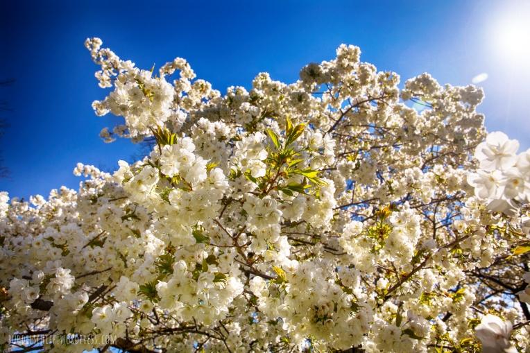 weiße Kirschblüte in Hamburg
